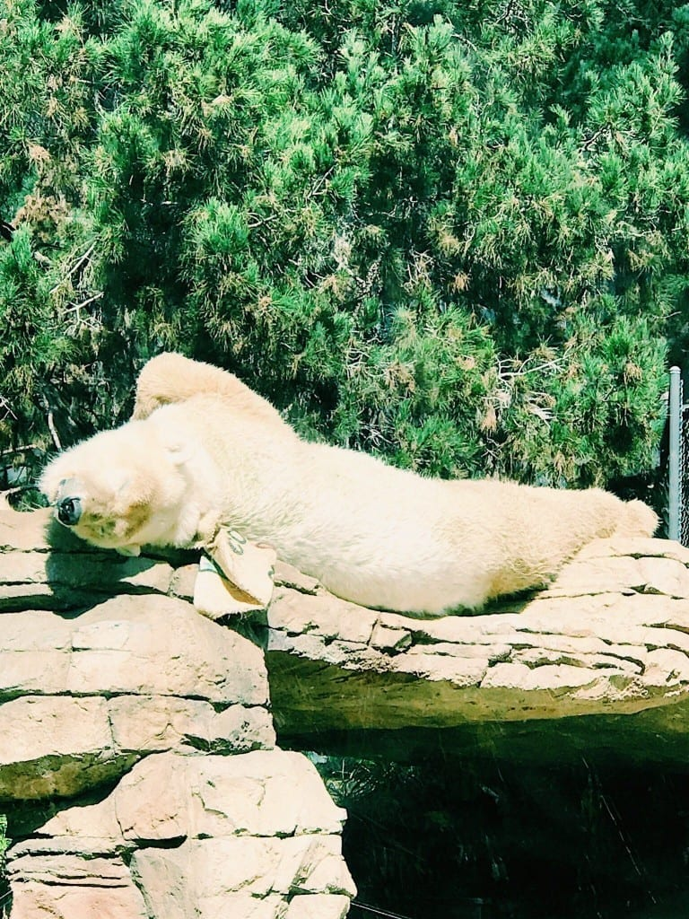 A polar bear lounging in the sun at the San Diego Zoo