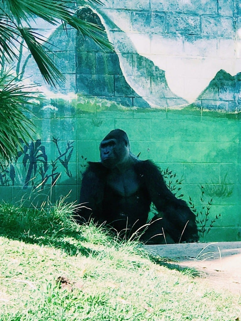 One of the amazing gorillas at the San Diego Zoo